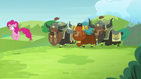 Yaks follow Pinkie S5E11