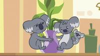Koalas eating Dr. Fauna's clinic plant S7E5