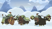 Yaks start digging through the snow S7E11