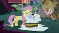 Fluttershy cleaning a goat S5E3