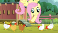 Fluttershy giving grains to chickens S4E14.png