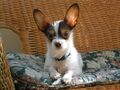 CocoChipoo's dog Coco.jpg