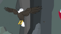 Bald eagle headless... S2E7
