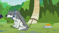 Sandra the wolf still leashed to a tree S9E18