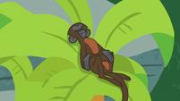 Monkey sleeping in a palm tree S9E23