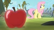 S04E07 Fluttershy patrzy łakomie na jabłko