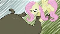 Fluttershy grabbing bear's leg S2E03