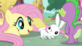 Fluttershy and Angel's fluffy tail S03E11.png