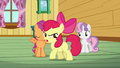 Apple Bloom 'We're not gonna be a bunch of tattle-tales!' S3E04.png