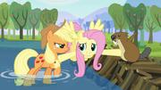 Fluttershy intervém entre Applejack e o castor T03E10