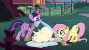Twilight and Fluttershy cleaning a pig S5E3