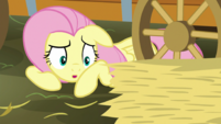 Fluttershy asking to borrow some hay S5E21