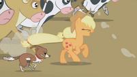 S01E04 Applejack biegnie z krowami