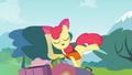 Apple Bloom holding a rolled map S4E09.png
