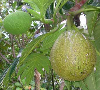 File:1. Breadfruit.jpg