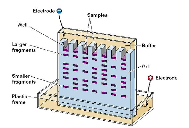 gel electrophoresis mmg 233 2014 genetics genomics wiki fandom rh mmg 233 2014 genetics genomics wikia com dna gel electrophoresis diagram gel electrophoresis diagram for peroxidase