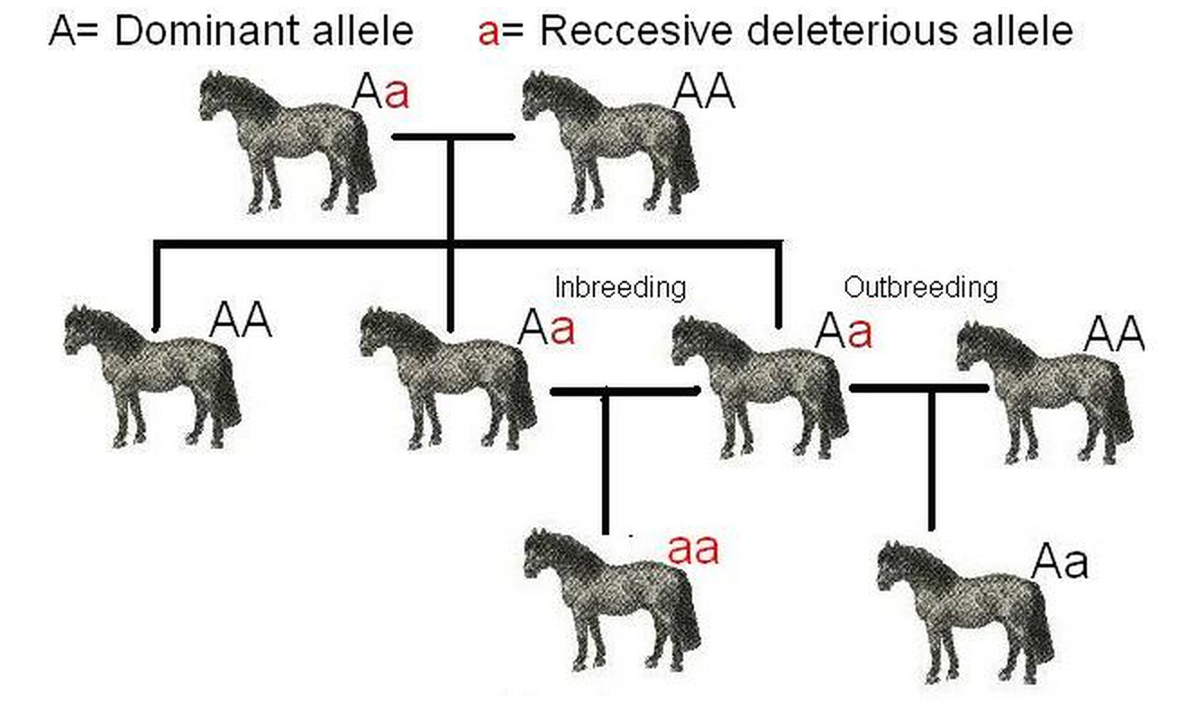 The Genetic Consequences Of Inbreeding Depression Mmg 233 2014