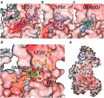 Structure of LF in complex with peptides and inhibitors
