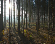 Sun through pine trees