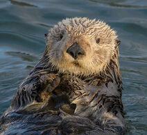 Sea Otter (Enhydra lutris) (25169790524) crop