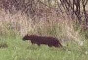 Beast bodmin moor