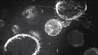 Uroboros virus