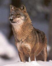 Wolf berndtfischer1