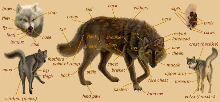 Diagram Of A Wolfs Anatomy - Search For Wiring Diagrams •