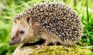 Hedgehog-garden-RSPCA-573919