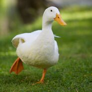 White domesticated duck, stretching