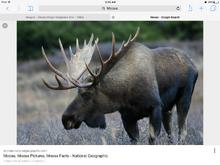 Is it a moose