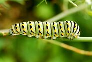 Lep black swallowtail caterpillar772 (2)