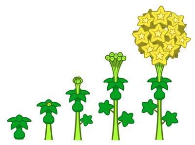 Star Blossom growth
