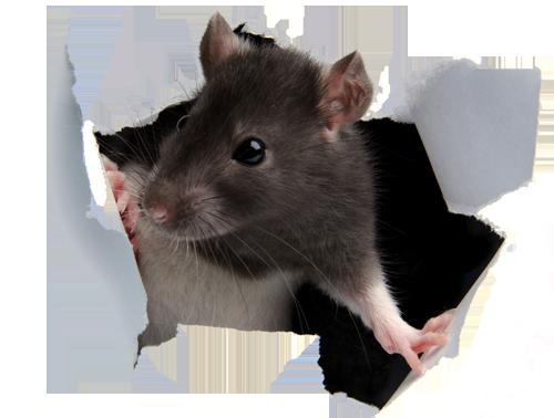 Rat paper