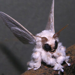Mothra in real life... I saw it in some freaking Spanish-language Yahoo article from somewhere between 2009-2011 about a moth species being discovered in a South American country and some guy in the comments said it looked like Mothra...