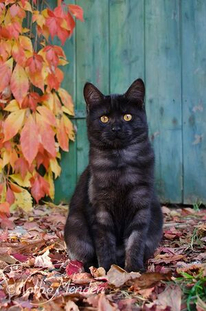 Black smoke tabby2