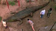 AboriginalCrocodile