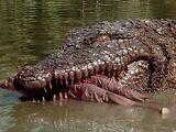 Toxic Crocodile