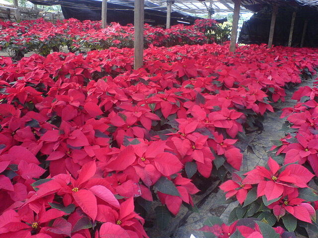 File:Poinsettia Mexico.jpg