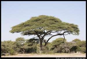 File:Umbrella Tree.jpg