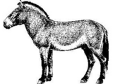 Selerikan Pony