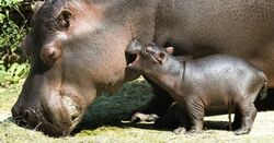 19jul2013-hipopotamo-de-dois-dias-de-vida-brinca-com-a-mae-chamada-helvetia-no-zoologico-da-basileia-na-suica-nesta-sexta-feira-19-1374242174241 956x500
