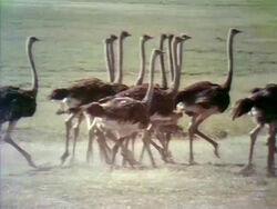 Ostrichfilm