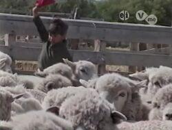 SheepHerding