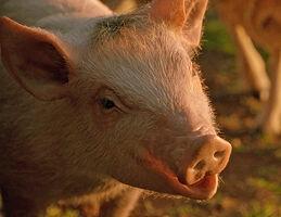 Babe animatronic pig