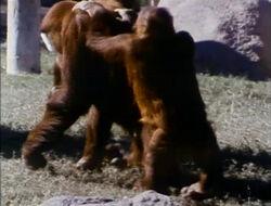 Orangutansfilm