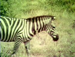 1452-Zebras