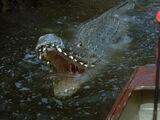 Arnie the Alligator