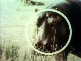 Song.hippopotamusround