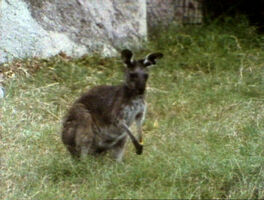 Song.kangarooblues